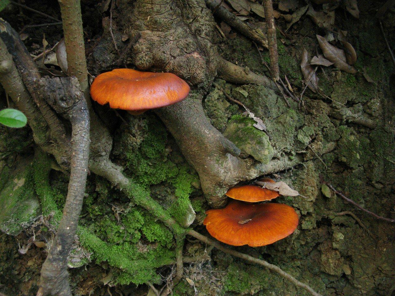 Омфалотус масличный (Omphalotus olearius). Автор фото: Станислав Кривошеев