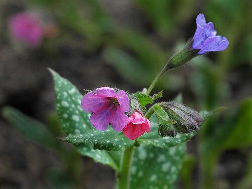 Цветет Медуница лекарственная с пятнистыми листьями Автор фото: Юрий Семенов