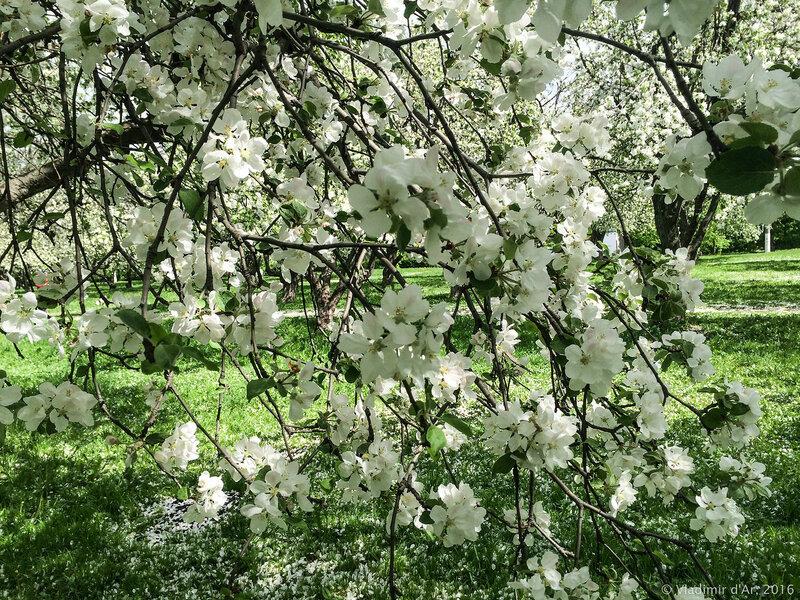 Яблоневый аромат
