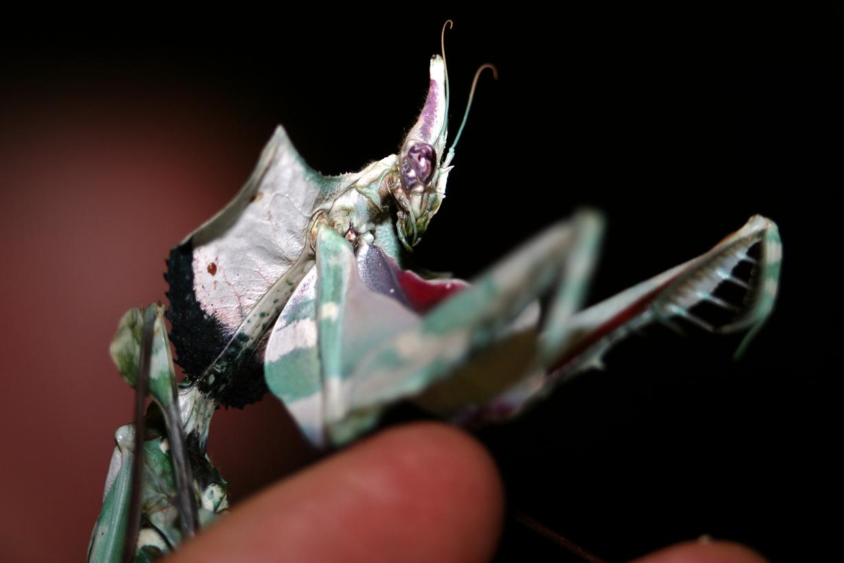 Богомол Чёртов цветок (Idolomantis diabolica)