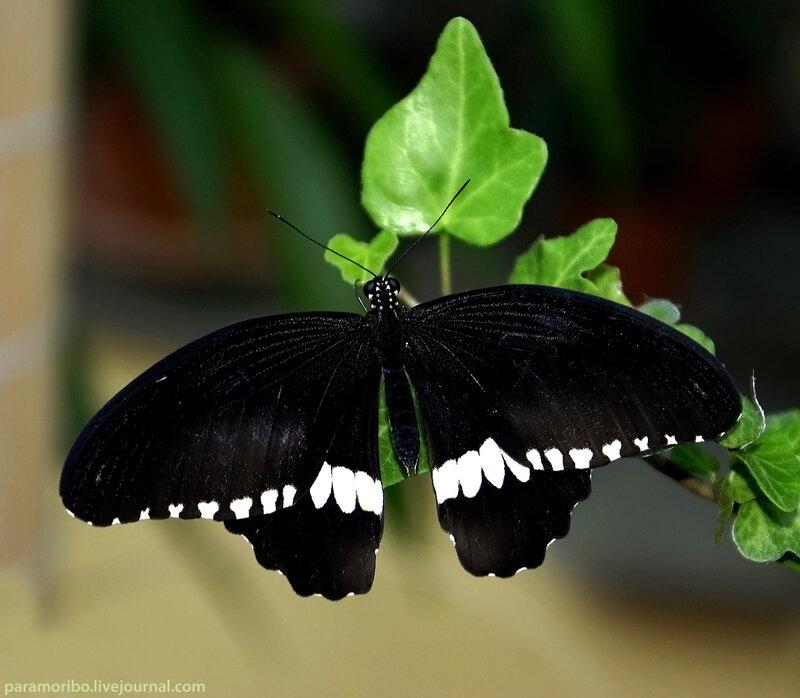Papilio polytes - Парусник Полит, семейство парусники, родина – от Китая до Индии, бабочки этого же вида бывают с красными пятнами и хвостиками на задних крыльях / в Доме Бабочек на ВВЦ
