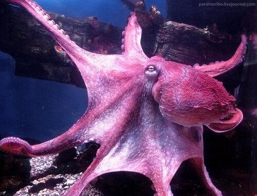 Новый обитатель Экзотариума – Гигантский тихоокеанский осьминог (Octopus dofleini) / класс Головоногие моллюски (кальмары, каракатицы, осьминоги, аргонавты, вампироморфы, наутилусы)