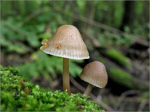 Mycenaceae