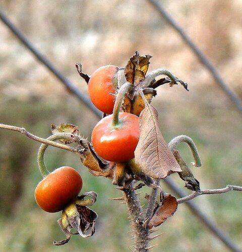Плоды шиповника помогают сердечной мышце