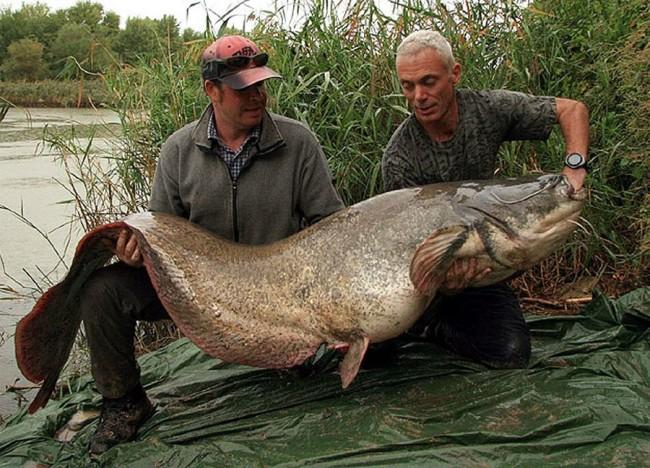 Белый осётр — это самая большая рыба, обитающая в Северной Америке и занимает шестое место в нашем р
