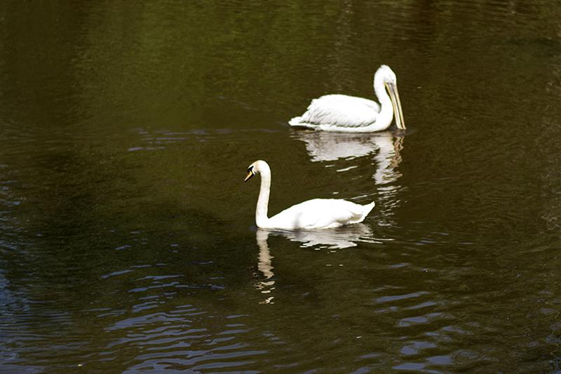 пеликан и лебедь