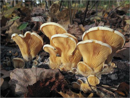 Вешенка <span class=wiki>оранжевая</span> (Phyllotopsis nidulans) Автор фото: Татьяна Светлова