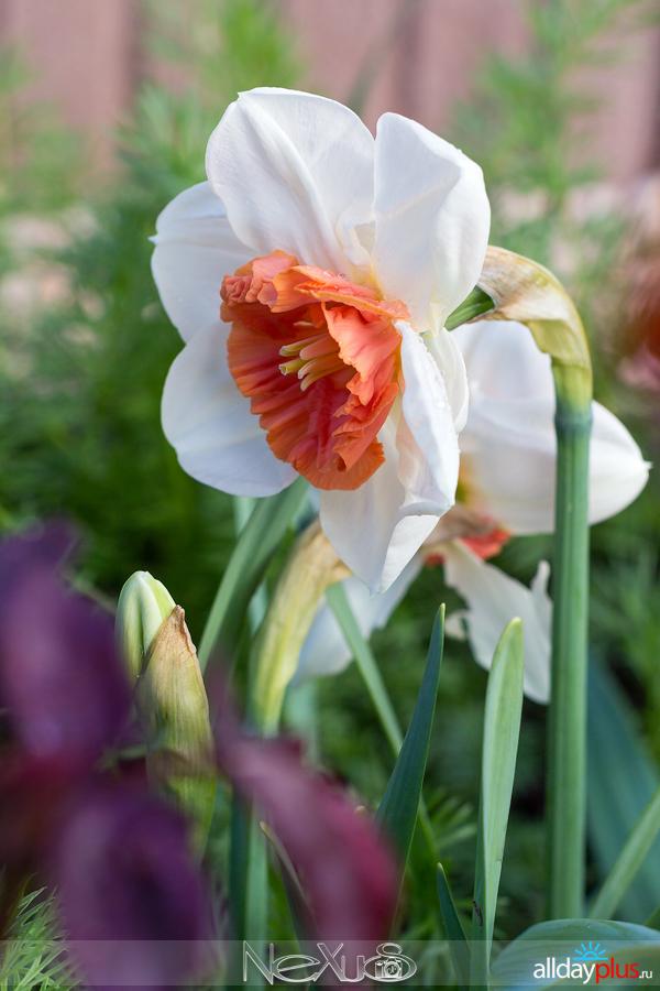 Я люблю все цветы, выпуск 156b50 | Нарцисс «Riot» и тюльпан «Red Parrot».