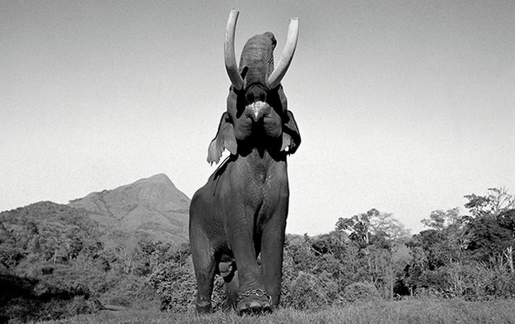 10. Самец во время гона в национальном парке «Мадумалаи» на юге Индии.