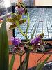 Цветущий зигопеталум
