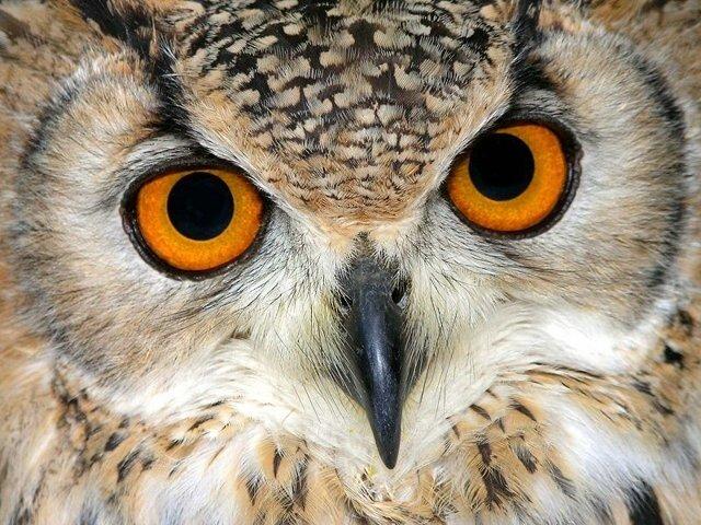 Прежде всего оказалось, что ушное отверстие у совы окружено особым...