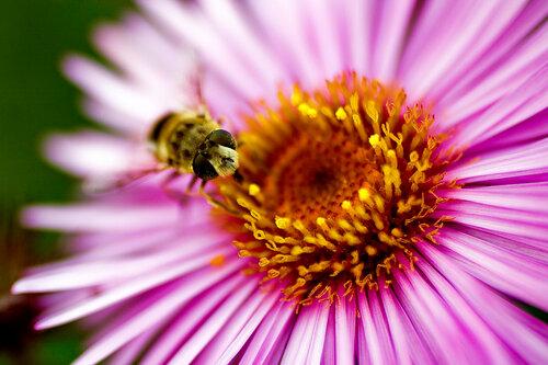 пчела анфас