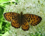Lepidoptera (Чешуекрылые-бабочки).