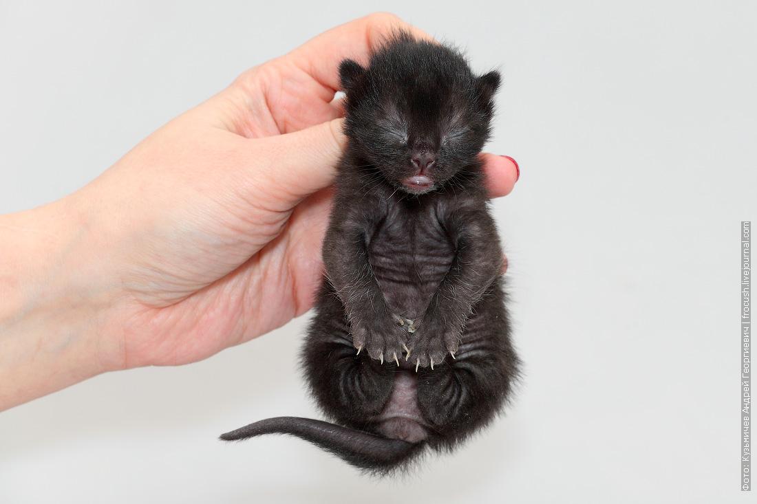 Бомбейская кошка котенок фотография