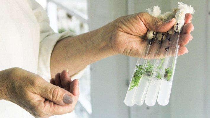 Китайские ученые создали растение-фонарь «Жэньминь жибао»