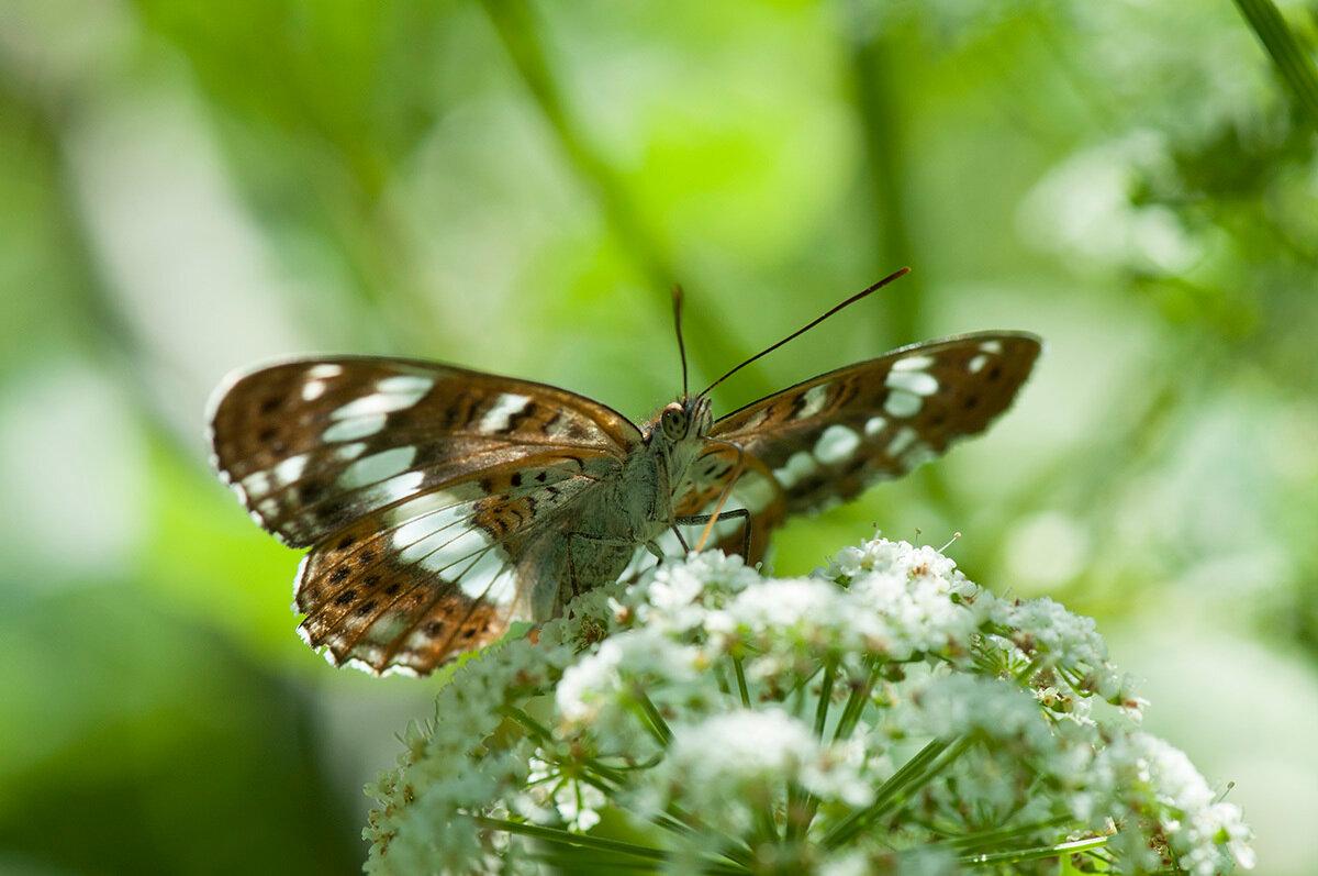 Ленточник камилла (Limenitis camilla) Автор фото: Владимир Брюхов