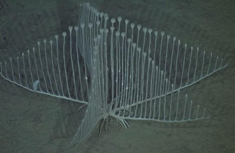 4. Хищная губка Chondrocladia lyra ( youtube.com ) Внешне напоминает сложную арфу (или лиру).