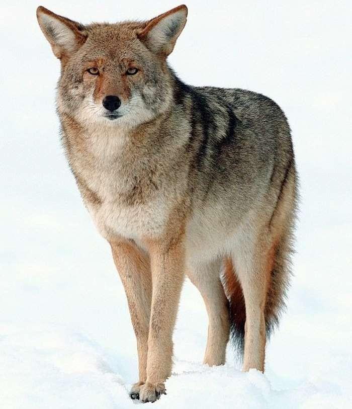 2. Вот койот, вес которого не превышает 32 килограммов. Он легко селится в городах.