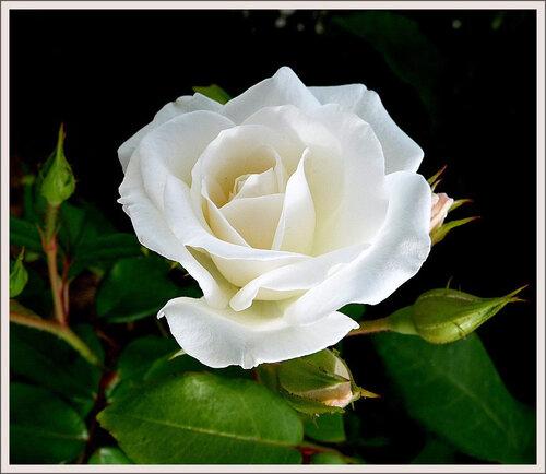 Открытка, картинка анимашка розы белые