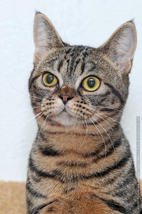 бомбейская кошка фотографии