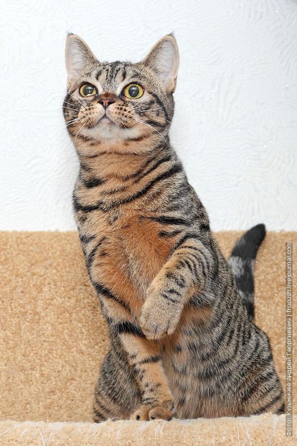 бомбейская кошка нетрадиционный окрас