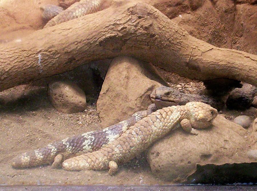 Эти ящерицы — мастера медленной любви. Самцы месяцами преследуют объект своего обожания, нежно полиз
