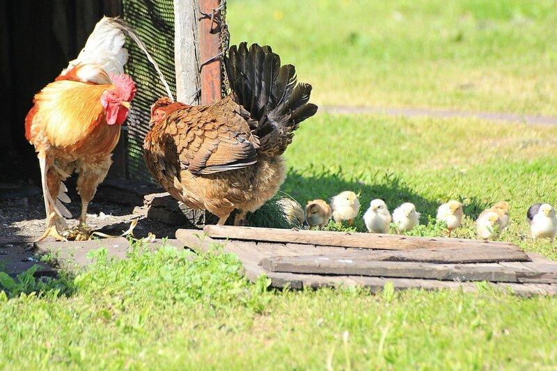 Фейс-контроль на входе в курятник: петух думает, пропускать ли курицу с цыплятами