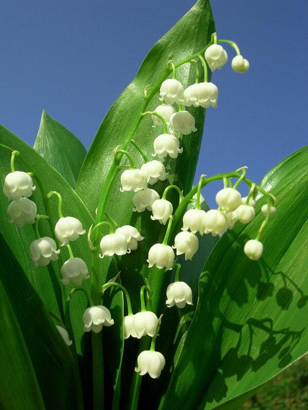 Ландыш относится к числу древних лекарственных растений.  Особую популярность он приобрел в Европе в Средние века...