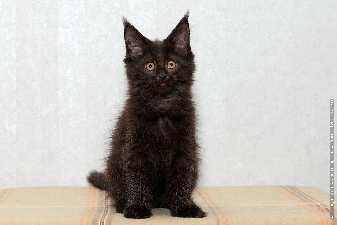 недорого купить в Москве котенок мейн-кун