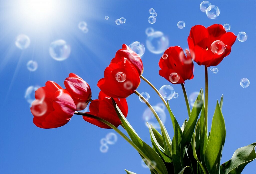 Tulips_Sky_Red_Rays_of_454815.jpg