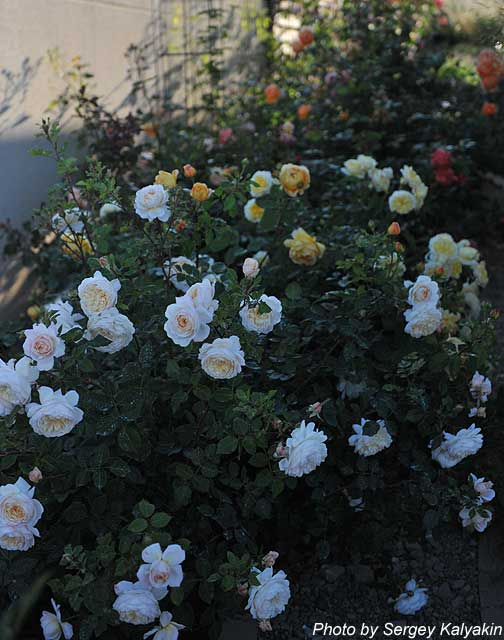 Rosa Crocus Rose (3).JPG