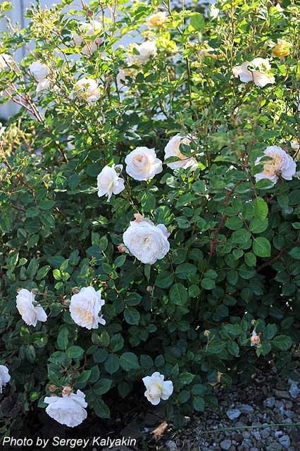 Rosa Crocus Rose (6).JPG