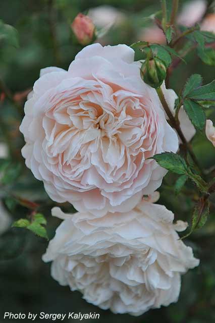 Rosa Crocus Rose (7).JPG