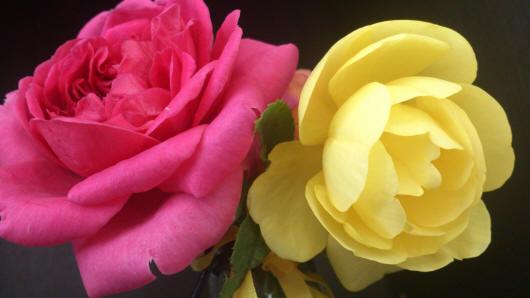 Дві троянди