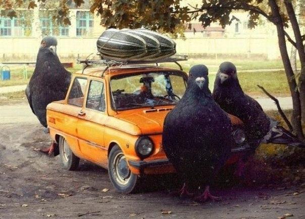 голуби перевозят семки на запорожце