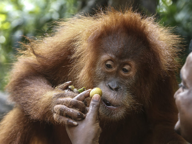 Ah Meng, a Sumatran orang-utan is fed by her keeper as she is presented to the media at the Singapor