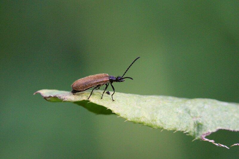 Бомбардир. Жук Мохнатка обыкновенная (лат. Lagria hirta) на листке над чьей-то кладкой яиц, похожей на маленькие пушечные ядра