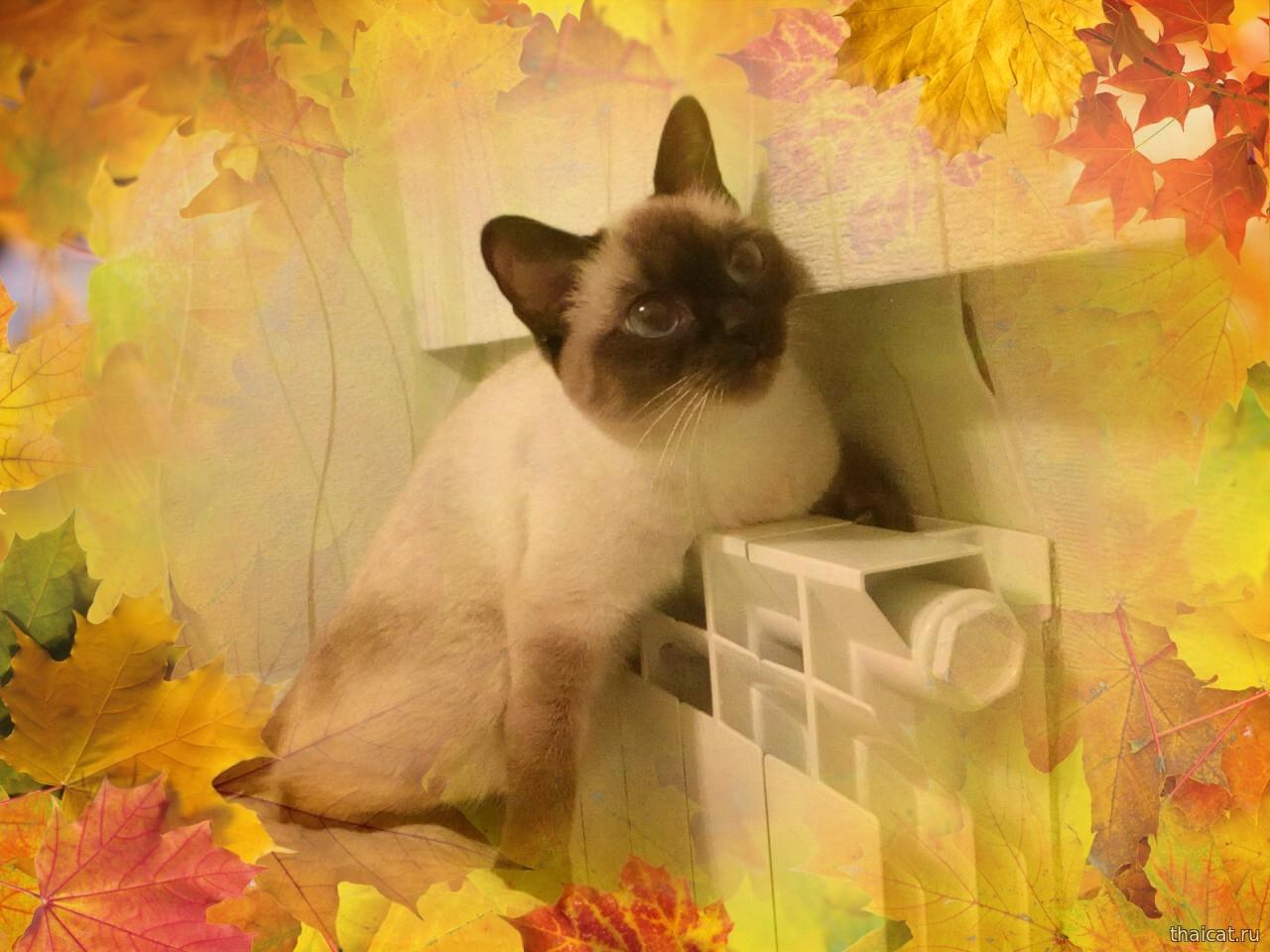 Уютная теплая осень с тайскими кошками