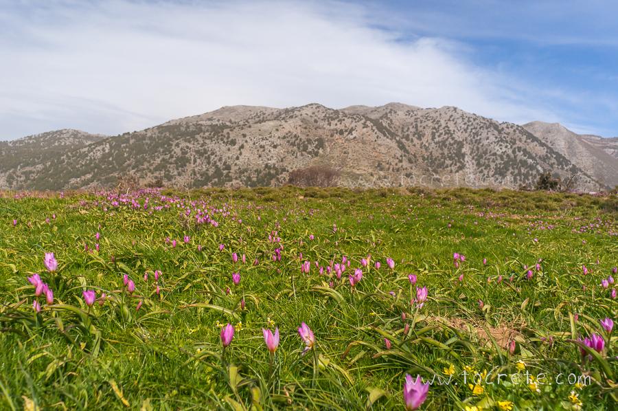 Тюльпаны на Крите | Tulips in Crete