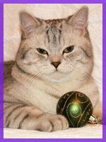 Шотландский прямоухий кот Международный Чемпион (SFS71 ns 24) скоттиш-страйт