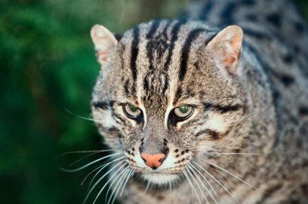 Камышовый кот (Felis chaus).  Довольно крупная кошка, длиной (включая...