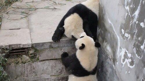В китайском сафари-парке Чаньчунь две панды устроили шоу