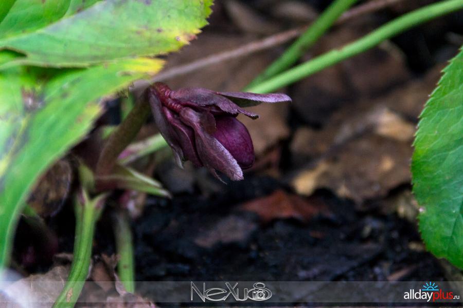 Я люблю все цветы, выпуск 147 | Морозники Helleborus niger «Рождественская роза» и Helleborus orientalis «Double Ellen».
