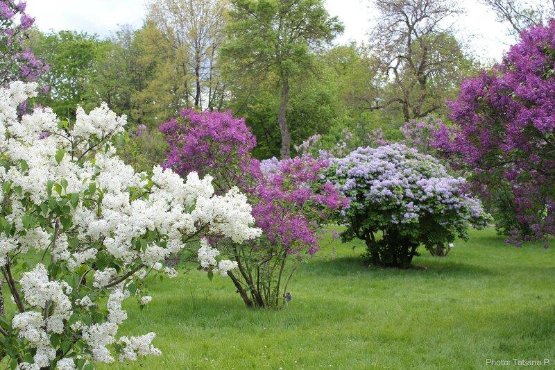 Сиреневая весна