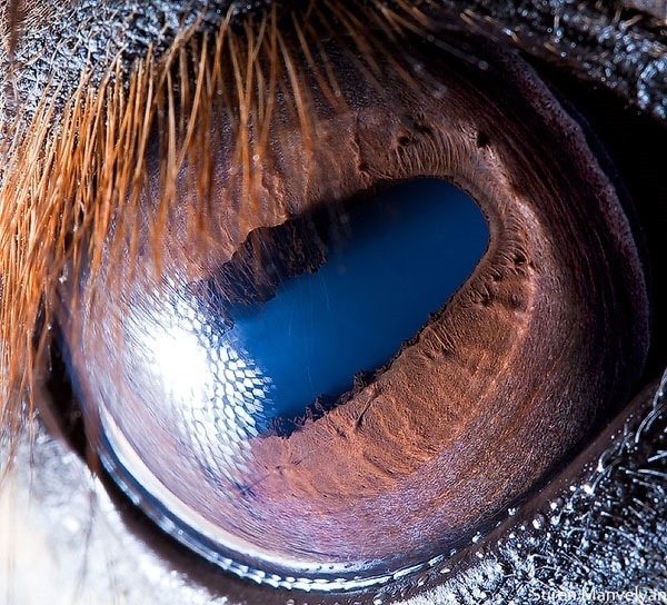 Сурен Манвесян. Фотографии глаз животных крупным 0 122fba 49db515e orig