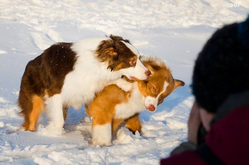 Мои собаки: Зена и Шива и их друзья весты - Страница 9 0_a852a_70da745f_XL