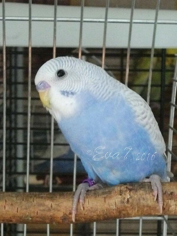 Продам птенцов волнистого попугая. Киев 0_c34e4_b14d02cd_XL