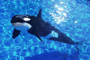 Кто же они касатки это вовсе не кит