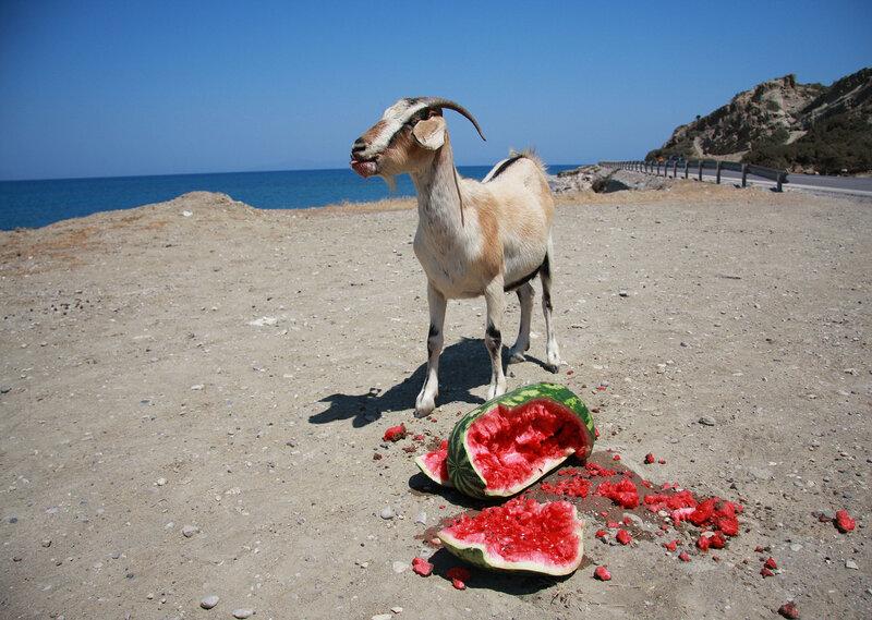 полдник дикой козы