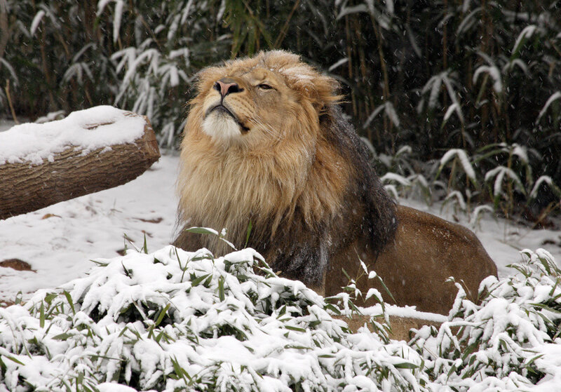 лев и снег